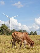 Cow Is Grazing On Pasture In Wind Farm With Windmill Background On A Bright Sunny Day.