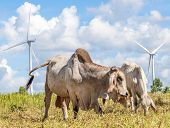 Cows Grazing On Pasture Next To Windmill Farm With Cloudy Blue Sky Background.