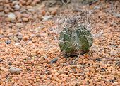 Goat's Horn Cactus On Colorful Stone