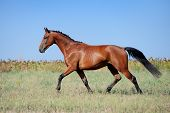 Brown young sport horses running trot on the field with braided mane on field background