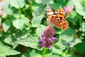 Brightly Colored Moth Or Butterfly Seeking Nectar