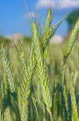 Green Rye Ears In The Field