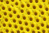 Background of flowers,sunflowers
