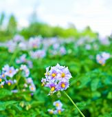 Purple Flowers Of Potato