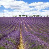 Beautiful Lavender Field