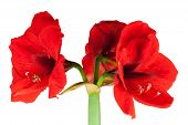 Red Amaryllis Isolated
