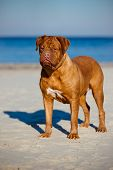 dogue de bordeaux portrait on a beach