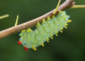 picture of cocoon tree  - A colorful caterpillar on a cherry tree branch  - JPG