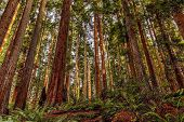 picture of redwood forest  - Color image of a redwood forest in Northern California - JPG