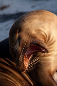 stock photo of sea lion  - Closeup portrait of sea lion sunbathing in a beach at the Galapagos Islands - JPG