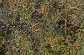 picture of sea-buckthorn  - Close up on Hippophae rhamnoides - JPG