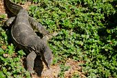 image of monitor lizard  - water monitor live habitat where is water lake and river - JPG