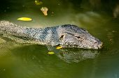 pic of monitor lizard  - water monitor live habitat where there are lakes and rivers  - JPG