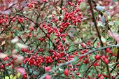 pic of barberry  - An abundance of red berries of barberry - JPG
