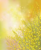 stock photo of mimosa  - Yellow mimosa flowers on spring bokeh  background - JPG