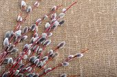 stock photo of willow  - Spring of willow branches with fluffy catkins on sacking background - JPG