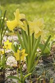 pic of daffodils  - Beautiful yellow daffodils  in the garden at spring time - JPG