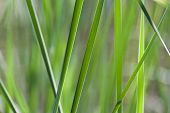 stock photo of bulrushes  - Bulrush bush close - JPG