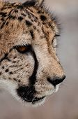 image of cheetah  - An up close view of the face of a prowling cheetah - JPG