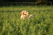 foto of mouth  - A female golden retriever is almost completeley submerged in the green fields where she went to fetch the tennis ball in her mouth. ** Note: Shallow depth of field - JPG