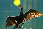 Постер, плакат: Cormorant Drying Wings backlight