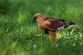 stock photo of marshes  - Poland in May.Marsh harrier malegoing all over the meadow.Left side view. ** Note: Visible grain at 100%, best at smaller sizes - JPG