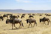 picture of wildebeest  - Wildebeest herd at the Ngorongoro crater walking in line - JPG