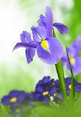 picture of purple iris  - purple iris flower on green natural background - JPG