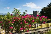 pic of climbing roses  - Beautiful pink roses climbing on a rail by a church with grave stones and tree in summer with sunshine and blue sky - JPG