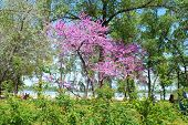 foto of dnepropetrovsk  - Photo taken in the spring flowering tree in a park in Dnepropetrovsk - JPG
