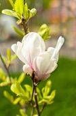 picture of magnolia  - Beautiful Magnolia flowers in park in spring - JPG