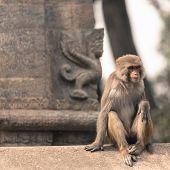 pic of macaque  - Young rhesus macaque monkey at Swayambhunath temple Kathmandu valley Nepal  - JPG