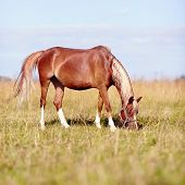 image of  horse  - Red horse - JPG