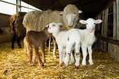 foto of sheep  - Mother sheep with lambs - JPG