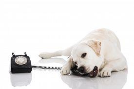 foto of labrador  - Beautiful labrador dog talking using a phone  - JPG