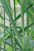 foto of australie  - Common Reed Phragmites Leaf - JPG