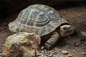 picture of tortoise  - Hermann - JPG