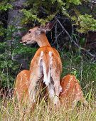 Cautious Mama Deer Nursing Fawns
