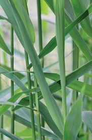 picture of spiky plants  - Common Reed Phragmites Leaf - JPG