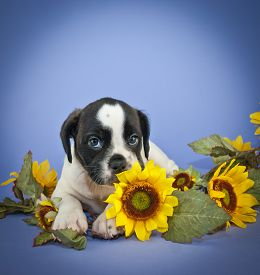picture of puppy eyes  - Super cute Bulldog puppy that looks like she is smelling a sunflower with big adorable puppy eyes - JPG