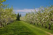 Apple orchard in bloom during the spring. poster