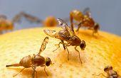 Fruitflys