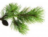Pinus mugo on white background