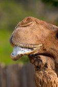 Espuma de camella
