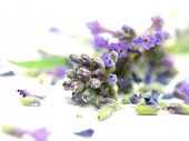 Lavandula officinalis on white background