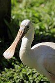 Roseate Spoonbill amazonian birds from brazil