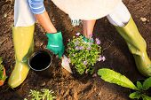 High angle view of mature female gardener using trowel for planting at garden poster