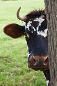 A Normandy cow looking out from behind a tree