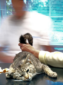 pic of castration  - cat castration - JPG