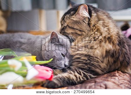 poster of Cats Sleep Together On A Blanket. Gray Scottish Cat And Adult Cat. Pet. Cat Hugs Cat Gently And Hugs